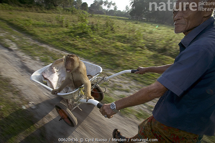 Pig-tailed Macaque (Macaca nemestrina) captive animal trained to pick coconuts is pushed along in a wheelbarrow by its owner, Malaysia  ,  Adult, Barrel, Blurred Motion, Captive, Color Image, Day, Head and Shoulders, High Angle View, Horizontal, Macaca nemestrina, Macaque, Male, Malaysia, Man, Monkey, One Animal, One Person, Outdoors, Pet, Person, Photography, Pig-tailed Macaque, Portrait, Profile, Pushing, Senior, Senior Adult, Side View, Threatened Species, Trainer, Vulnerable Species, Wheel, Wheelbarrow, Wildlife,Pig-tailed Macaque,Malaysia  ,  Cyril Ruoso