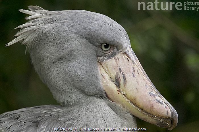 Shoebill (Balaeniceps rex), native to tropical regions of central Africa, Balaeniceps rex, Beak, Captive, Close Up, Color Image, Day, Head and Shoulders, Horizontal, Nobody, One Animal, Photography, Portrait, Profile, Shoebill, Side View, Threatened Species, Vulnerable Species, Wading Bird, Wildlife, Zoo,Shoebill, Cyril Ruoso