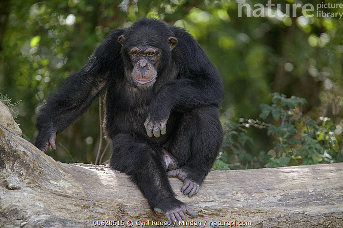 Chimpanzee (Pan troglodytes) young male sitting on fallen tree, La Vallee Des Singes Primate Center, France  ,  Captive, Chimpanzee, Color Image, Day, Endangered Species, France, Front View, Full Length, Horizontal, La Vallee Des Singes Primate Center, Looking at Camera, Male, Nobody, One Animal, Pan troglodytes, Photography, Sitting, Wildlife,Chimpanzee,France  ,  Cyril Ruoso