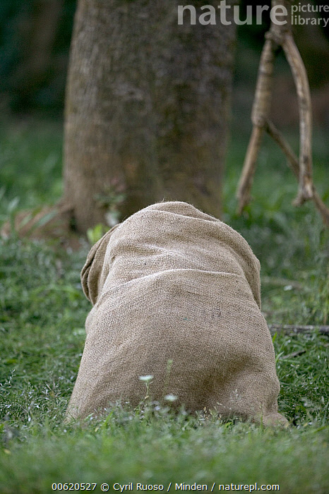 Chimpanzee (Pan troglodytes) playing with burlap sack, La Vallee Des Singes Primate Center, France, Bag, Captive, Chimpanzee, Color Image, Day, Endangered Species, France, Hiding, Humor, La Vallee Des Singes Primate Center, Nobody, One Object, Pan troglodytes, Photography, Playing, Sequence, Vertical, Wildlife,Chimpanzee,France, Cyril Ruoso