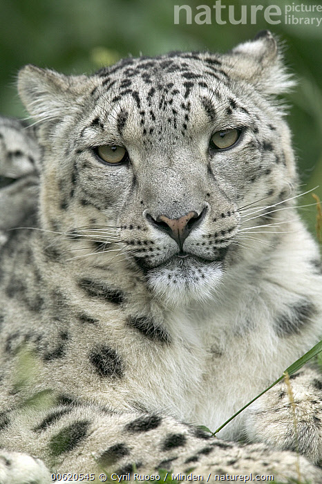 Snow Leopard (Uncia uncia) portrait native to Asia and Russia, Adult, Captive, Close Up, Color Image, Day, Endangered Species, Face, Front View, Head and Shoulders, Looking at Camera, Nobody, One Animal, Photography, Portrait, Snow Leopard, Spotted, Uncia uncia, Vertical, Wildlife,Snow Leopard, Cyril Ruoso