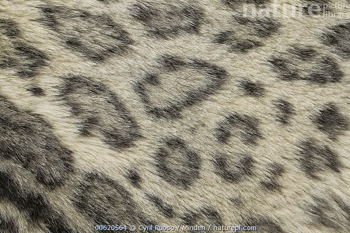 Snow Leopard (Uncia uncia) fur detail, Kyrghyzstan, Background, Captive, Close Up, Color Image, Day, Detail, Endangered Species, Full Frame, Horizontal, Kyrgyzstan, Nature Pattern, Nobody, One Animal, Photography, Skin, Snow Leopard, Spotted, Uncia uncia, Wildlife,Snow Leopard,Kyrgyzstan, Cyril Ruoso