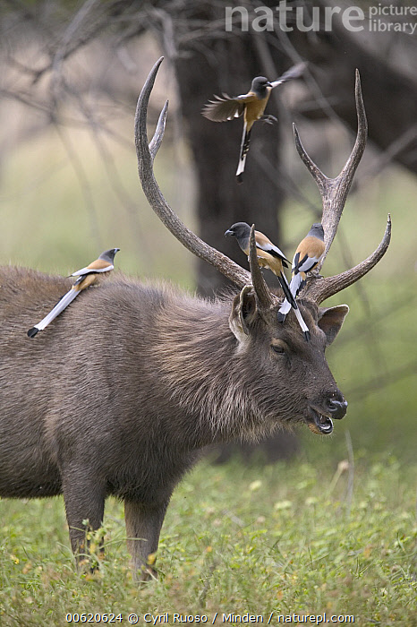 Sambar (Cervus unicolor) male with Rufous Treepies (Dendrocitta vagabunda) perching on antlers, Ranthambore Reserve, Rajasthan, India, Antler, Buck, Cervus unicolor, Deer, Dendrocitta vagabunda, Difference, Humor, India, Nobody, Outdoors, Photography, Rajasthan, Ranthambore National Park, Ranthambore Reserve, Rufous Treepie, Sambar, Side View, Songbird, Symbiosis, Vertical, Wildlife,Sambar,Rufous Treepie,Dendrocitta vagabunda,India, Cyril Ruoso