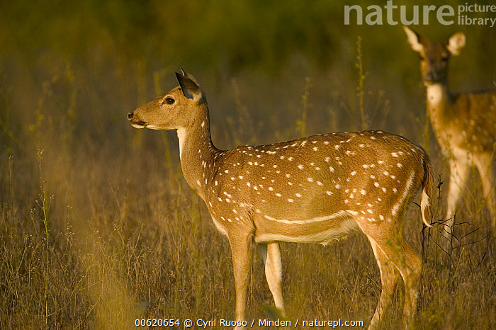 Axis Deer (Axis axis) doe, Bandhavgarh National Park, India, Axis Deer, Bandhavgarh National Park, Cervus axis, Chital, Deer, Doe, Female, Horizontal, India, Nobody, Outdoors, Photography, Side View, Spotted Deer, Two Animals, Wildlife,Axis Deer,India, Cyril Ruoso