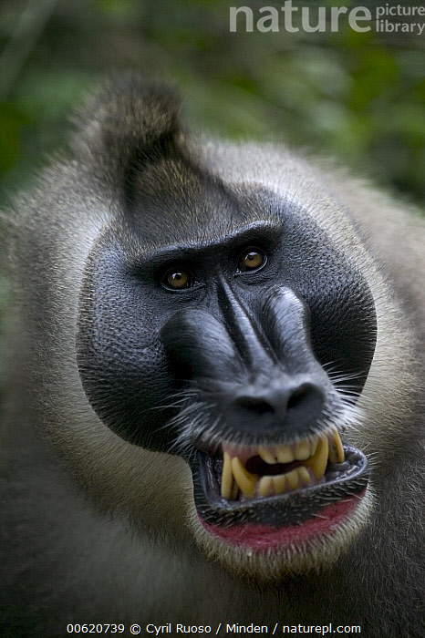 Drill (Mandrillus leucophaeus) adult male appeasement face, Pandrillus Drill Sanctuary, Nigeria, Adult, Africa, Anger, Calabar, Close Up, Cross River State, Drill, Endangered Species, Face, Front View, Head, Looking at Camera, Male, Mandrillus leucophaeus, Monkey, Nigeria, Nobody, One Animal, Outdoors, Pandrillus Drill Sanctuary, Photography, Portrait, Teeth, Vertical, Wildlife,Drill,Nigeria, Cyril Ruoso