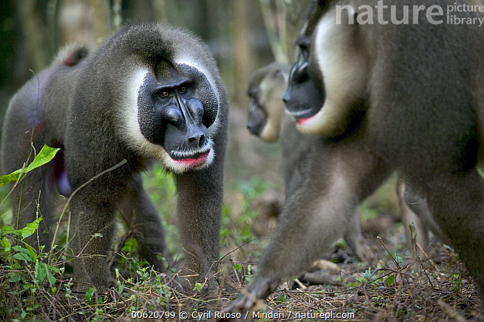 Drill (Mandrillus leucophaeus) intruder challenging dominant male for leadership of harem, Pandrillus Drill Sanctuary, Nigeria, Adult, Africa, Alpha, Calabar, Challenging, Confronting, Cross River State, Dominance, Drill, Endangered Species, Fighting, Horizontal, Male, Mandrillus leucophaeus, Monkey, Nigeria, Nobody, Outdoors, Pandrillus Drill Sanctuary, Photography, Two Animals, Wildlife,Drill,Nigeria, Cyril Ruoso