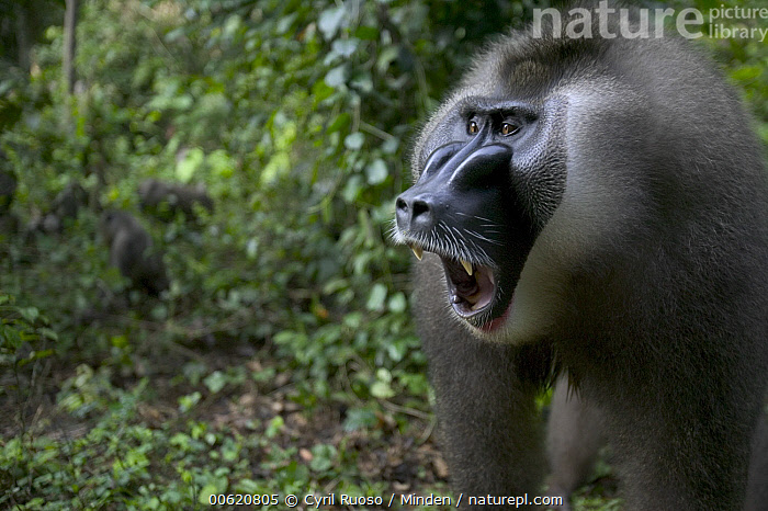 Drill (Mandrillus leucophaeus) adult male yawning, Pandrillus Drill Sanctuary, Nigeria, Adult, Africa, Calabar, Cross River State, Drill, Endangered Species, Horizontal, Male, Mandrillus leucophaeus, Monkey, Nigeria, Nobody, One Animal, Open Mouth, Outdoors, Pandrillus Drill Sanctuary, Photography, Portrait, Side View, Wildlife, Yawn, Yawning,Drill,Nigeria, Cyril Ruoso