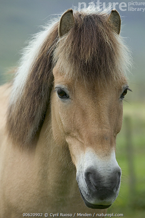 Domestic Horse (Equus caballus) portrait, Faroe Islands, Denmark, Domestic Horse, Equus caballus, Face, Faeroe Islands, Farm Animal, Faroe Islands, Front View, Horse, Looking at Camera, Nobody, One Animal, Outdoors, Photography, Portrait, Vertical,Domestic Horse,Denmark, Cyril Ruoso