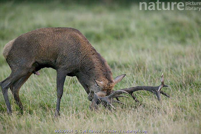 Red Deer (Cervus elaphus) male rubbing antlers in grass during autumn rutting season, Denmark, Antler, Cervus elaphus, Deer, Denmark, Horizontal, Male, Nobody, One Animal, Outdoors, Photography, Red Deer, Rubbing, Side View, Stag, Wildlife,Red Deer,Denmark, Cyril Ruoso