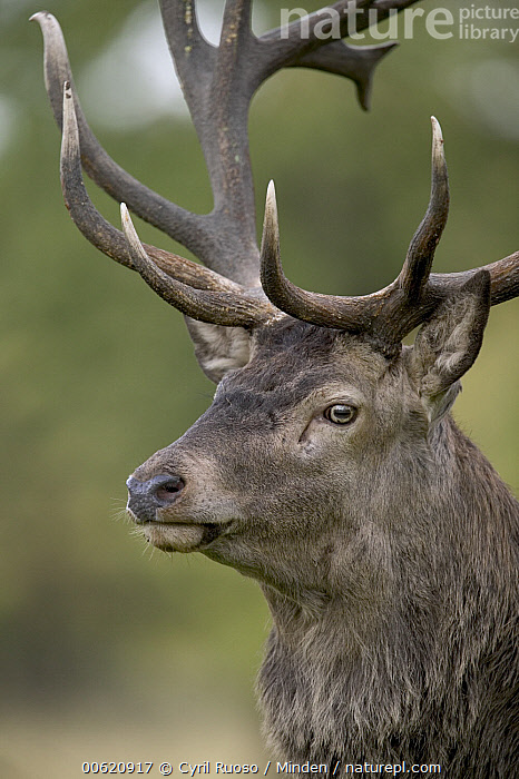 Red Deer (Cervus elaphus) stag portrait, Denmark, Cervus elaphus, Deer, Denmark, Head, Head and Shoulders, Looking at Camera, Male, Nobody, One Animal, Outdoors, Photography, Portrait, Profile, Red Deer, Side View, Stag, Vertical, Wildlife,Red Deer,Denmark, Cyril Ruoso