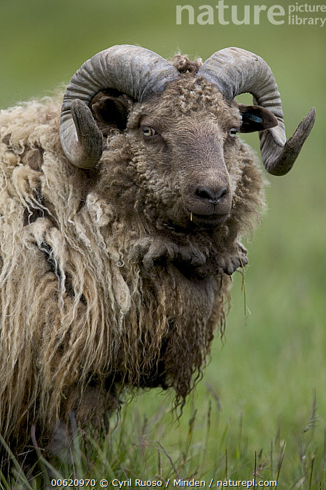 Domestic Sheep (Ovis aries) ram, east coast, Iceland  ,  Domestic Sheep, Farm Animal, Front View, Head and Shoulders, Iceland, Looking at Camera, Nobody, One Animal, Outdoors, Ovis aries, Photography, Polar Climate, Portrait, Ram, Sheep, Vertical,Domestic Sheep,Iceland  ,  Cyril Ruoso