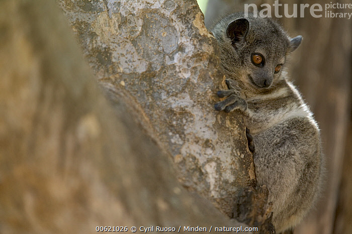 White-footed Sportive Lemur (Lepilemur leucopus) nocturnal hunter, Berenty Private Reserve, Madagascar, Berenty Private Reserve, Berenty, Color Image, Day, Horizontal, Lepilemur leucopus, Madagascar, Nobody, One Animal, Outdoors, Photography, White-footed Sportive Lemur, Wildlife,White-footed Sportive Lemur,Madagascar, Cyril Ruoso