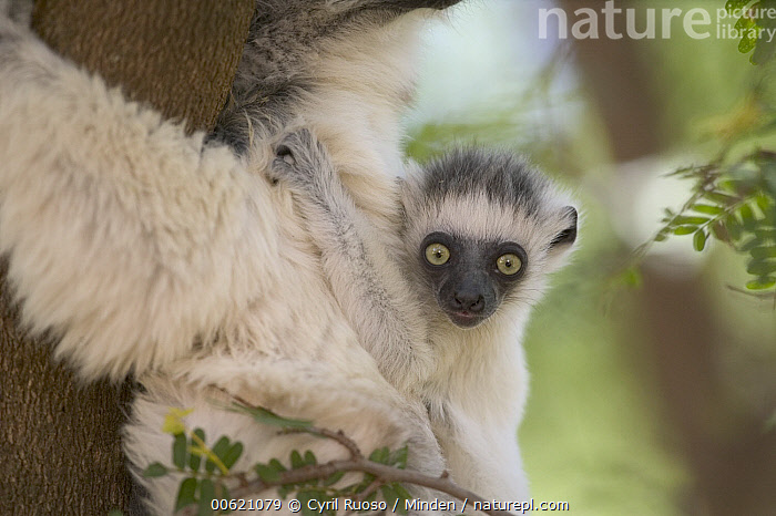 Verreaux's Sifaka (Propithecus verreauxi) baby clinging to mother's back, vulnerable, Berenty Private Reserve, Madagascar  ,  Baby, Berenty Private Reserve, Berenty, Clinging, Color Image, Cute, Day, Endangered Species, Horizontal, Looking at Camera, Madagascar, Mother, Nobody, Outdoors, Photography, Portrait, Primate, Propithecus verreauxi, Sifaka, Two Animals, Verreaux's Sifaka, Wildlife,Verreaux's Sifaka,Madagascar  ,  Cyril Ruoso