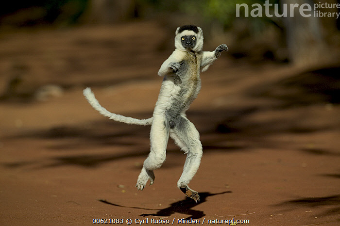 Verreaux's Sifaka (Propithecus verreauxi) jumping across open ground, vulnerable, Berenty Private Reserve, Madagascar, Approaching, Berenty Private Reserve, Berenty, Color Image, Day, Endangered Species, Front View, Hopping, Horizontal, Humor, Leaping, Madagascar, Nobody, One Animal, Outdoors, Photography, Primate, Propithecus verreauxi, Sifaka, Verreaux's Sifaka, Wildlife,Verreaux's Sifaka,Madagascar, Cyril Ruoso