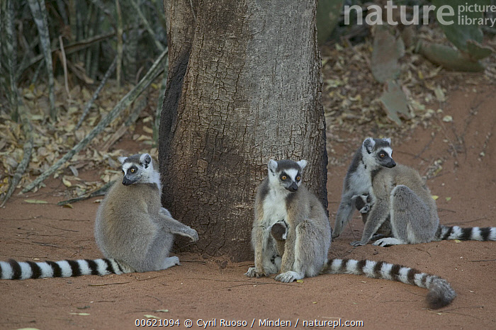 Ring-tailed Lemur (Lemur catta) trio sitting at base of tree, vulnerable, Berenty Private Reserve, Madagascar, Berenty Private Reserve, Berenty, Color Image, Day, Endangered Species, Horizontal, Lemur catta, Madagascar, Nobody, Outdoors, Photography, Primate, Ring-tailed Lemur, Sitting, Three Animals, Wildlife,Ring-tailed Lemur,Madagascar, Cyril Ruoso
