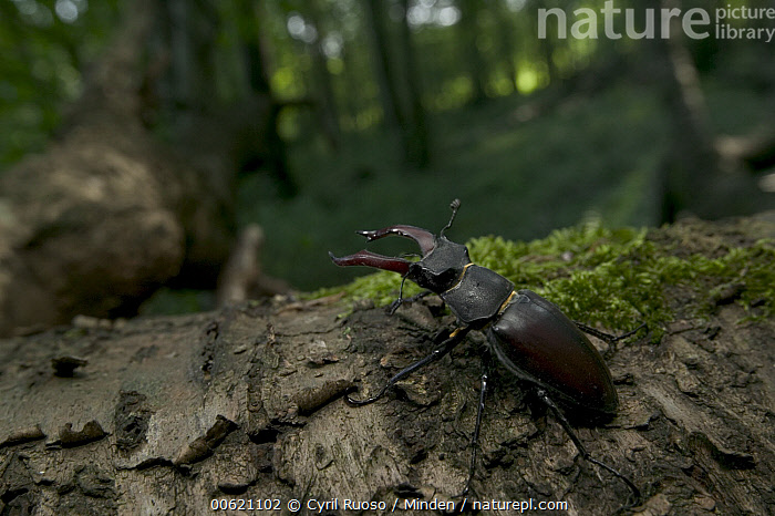 Stag Beetle (Lucanidae) crawling on tree trunk, Bourgogne, France, Bourgogne, Color Image, Crawling, Day, France, Horizontal, Lucanidae, Nobody, One Animal, Outdoors, Photography, Stag Beetle, Wildlife,Stag Beetle,France, Cyril Ruoso
