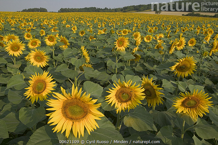 Common Sunflower (Helianthus annuus) field, Bourgogne, France, Bourgogne, Color Image, Common Sunflower, Cultivated, Day, Field, Flower, France, Helianthus annuus, Horizon, Horizontal, Landscape, Large Group of Objects, Mirasol, Nobody, Outdoors, Photography, Summer, Sunflower, Yellow,Common Sunflower,France, Cyril Ruoso