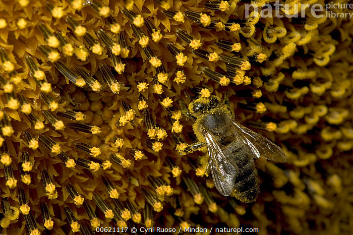 Honey Bee (Apis mellifera) covered in pollen on a Common Sunflower (Helianthus annuus) close up, Bourgogne, France, Apis mellifera, Bourgogne, Close Up, Collecting, Color Image, Common Sunflower, Day, Detail, Flower, France, Full Frame, Helianthus annuus, Honey Bee, Honeybee, Horizontal, Mirasol, Nobody, One Animal, Outdoors, Photography, Pollinating, Pollen, Sunflower, Wildlife,Honey Bee,Common Sunflower,Helianthus annuus,France, Cyril Ruoso