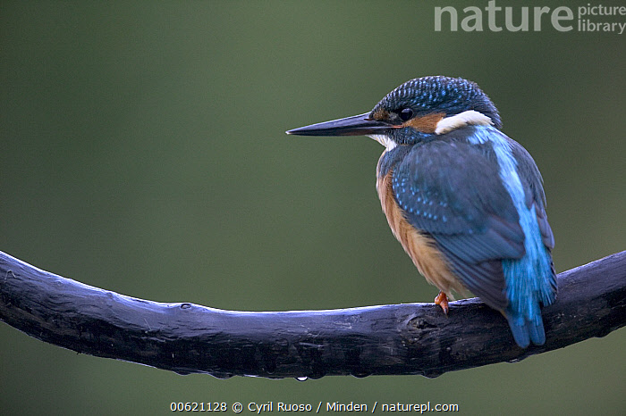 Common Kingfisher (Alcedo atthis) portrait, Yonne, France, Alcedo atthis, Color Image, Common Kingfisher, Day, France, Horizontal, Nobody, One Animal, Outdoors, Photography, Profile, Rear View, Wildlife, Yonne,Common Kingfisher,France, Cyril Ruoso