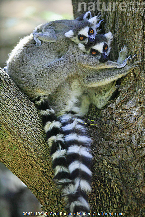 Ring-tailed Lemur (Lemur catta) mother and baby sitting in tree, vulnerable, Berenty Private Reserve, Madagascar, Baby, Berenty Private Reserve, Berenty, Color Image, Cute, Day, Endangered Species, Lemur catta, Looking at Camera, Madagascar, Mother, Nobody, Outdoors, Photography, Primate, Riding, Ring-tailed Lemur, Two Animals, Vertical, Wildlife,Ring-tailed Lemur,Madagascar, Cyril Ruoso