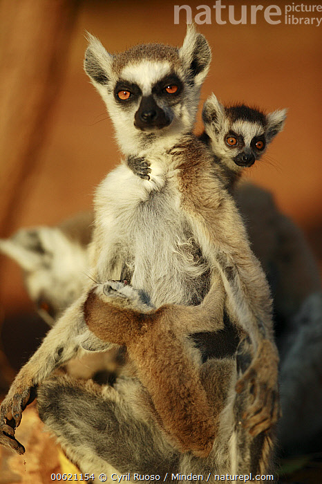 Ring-tailed Lemur (Lemur catta) mother with twins, vulnerable, Madagascar  ,  Clinging, Color Image, Day, Endangered Species, Lemur catta, Looking at Camera, Madagascar, Mother, Nobody, Nursing, Outdoors, Photography, Primate, Ring-tailed Lemur, Three Animals, Twin, Vertical, Wildlife,Ring-tailed Lemur,Madagascar  ,  Cyril Ruoso