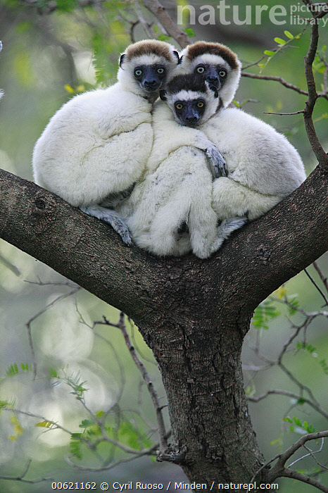 Verreaux's Sifaka (Propithecus verreauxi) trio huddling, vulnerable, Berenty Private Reserve, Madagascar, Berenty Private Reserve, Berenty, Color Image, Cuddling, Day, Endangered Species, Huddling, Looking at Camera, Madagascar, Outdoors, Photography, Primate, Propithecus verreauxi, Sifaka, Sitting, Sunrise, Three Animals, Tree, Verreaux's Sifaka, Vertical, Wildlife,Verreaux's Sifaka,Madagascar, Cyril Ruoso