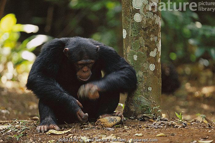 Chimpanzee (Pan troglodytes) using two rocks as tools to crack a nut, Guinea, Adult, Chimpanzee, Color Image, Cracking, Day, Endangered Species, Foraging, Front View, Full Length, Guinea, Horizontal, Intelligence, Nobody, Nut, One Animal, Outdoors, Pan troglodytes, Photography, Rock, Sitting, Tool Use, Wildlife,Chimpanzee,Guinea, Cyril Ruoso