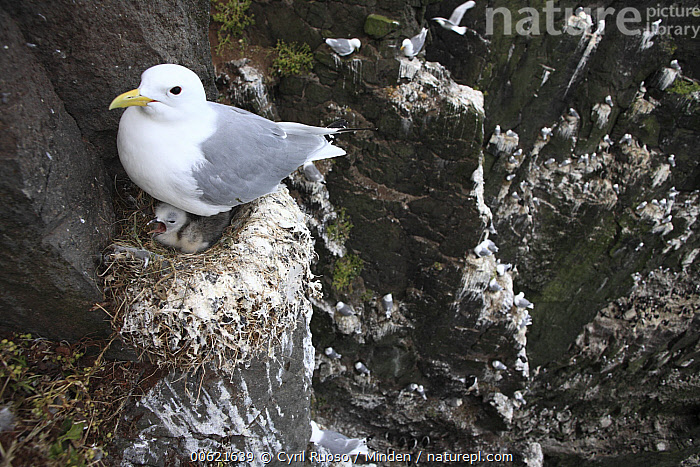 Black-legged Kittiwake (Rissa tridactyla) female on nest with young, Latrabjarg Cliff, West Fjords, Iceland, Adult, Animal in Habitat, Baby, Black-legged Kittiwake, Cliff, Color Image, Day, Female, Full Length, High Angle View, Horizontal, Iceland, Latrabjarg Cliff, Mother, Nest, Nobody, Outdoors, Parent, Photography, Polar Climate, Rissa tridactyla, Seabird, Side View, Two Animals, West Fjords, Wildlife,Black-legged Kittiwake,Iceland, Cyril Ruoso