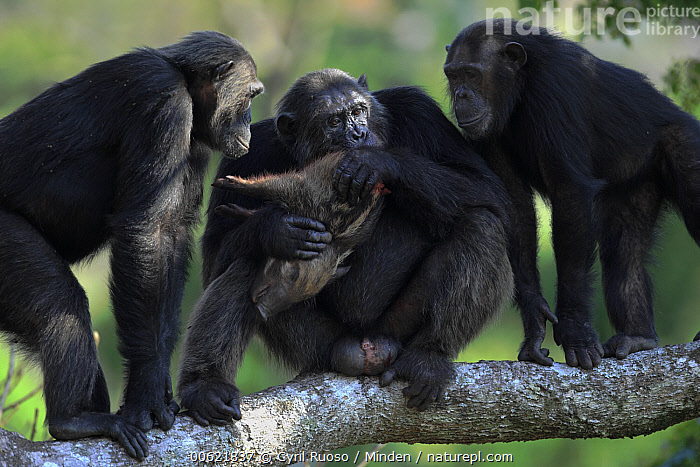 Eastern Chimpanzee (Pan troglodytes schweinfurthii) , Frodo the dominant male and hunter, eating a Red River Hog (Potamochoerus porcus) piglet with two females begging, Gombe National Park, Tanzania, Adult, Begging, Color Image, Day, Eastern Chimpanzee, Eating, Endangered Species, Feeding, Female, Frodo, Front View, Full Length, Gombe National Park, Horizontal, Male, Nobody, Outdoors, Pan troglodytes schweinfurthii, Photography, Piglet, Potamochoerus porcus, Red River Hog, Side View, Tanzania, Three Animals, Wildlife,Eastern Chimpanzee,Red River Hog,Potamochoerus porcus,Tanzania, Cyril Ruoso