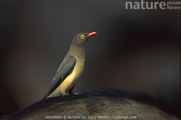 Red-billed Oxpecker (Buphagus erythrorhynchus) on animals back, portrait, side view, Malamala Game Reserve, South Africa, Buphagus erythrorhynchus, Close Up, Color Image, Full Length, Horizontal, Malamala Game Reserve, Night, Nobody, One Animal, Perching, Photography, Profile, Red-billed Oxpecker, Side View, Songbird, South Africa, Wildlife,Red-billed Oxpecker,South Africa, Richard Du Toit