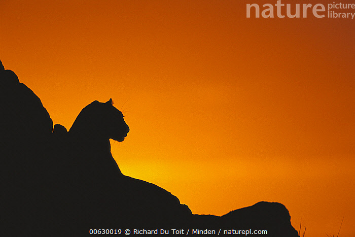 Leopard (Panthera pardus) cub silhouetted against orange sky at sunset, summer, Sabi Sand Game Reserve, South Africa, Close Up, Color Image, Cub, Head and Shoulders, Horizontal, Leopard, Nobody, One Animal, Orange, Panthera pardus, Photography, Portrait, Profile, Sabi Sands Private Game Reserve, Side View, Silhouette, South Africa, Summer, Sunrise, Sunset, Wildlife, Richard Du Toit
