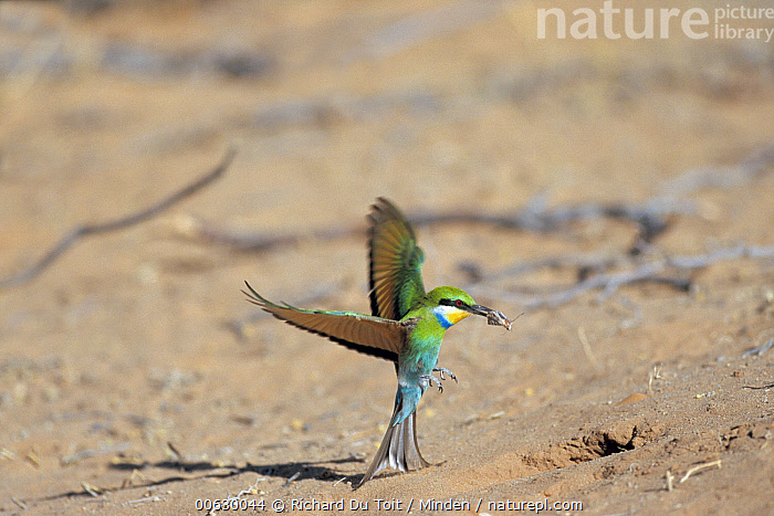 Swallow-tailed Bee-eater (Merops hirundineus) hovering just above ground, Kgalagadi Transfrontier Park, Kgalagadi, South Africa, Bee-eater, Color Image, Day, Flying, Full Length, Horizontal, Kgalagadi Transfrontier Park, Merops hirundineus, Nobody, One Animal, Photography, Profile, Side View, South Africa, Swallow-tailed Bee-eater, Wildlife, Richard Du Toit
