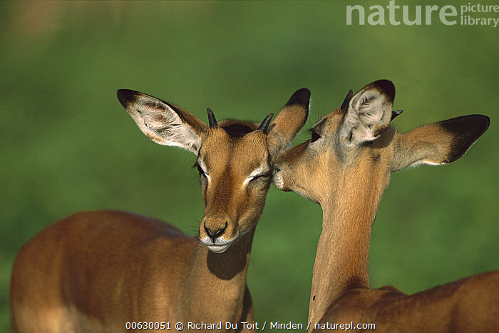 Impala (Aepyceros melampus) pair of females grooming, Chobe National Park, Botswana, Aepyceros melampus, Antelope, Botswana, Close Up, Color Image, Day, Female, Front View, Head and Shoulders, Horizontal, Impala, Nobody, Photography, Portrait, Rear View, Two Animals, Wildlife,Impala,Botswana, Richard Du Toit