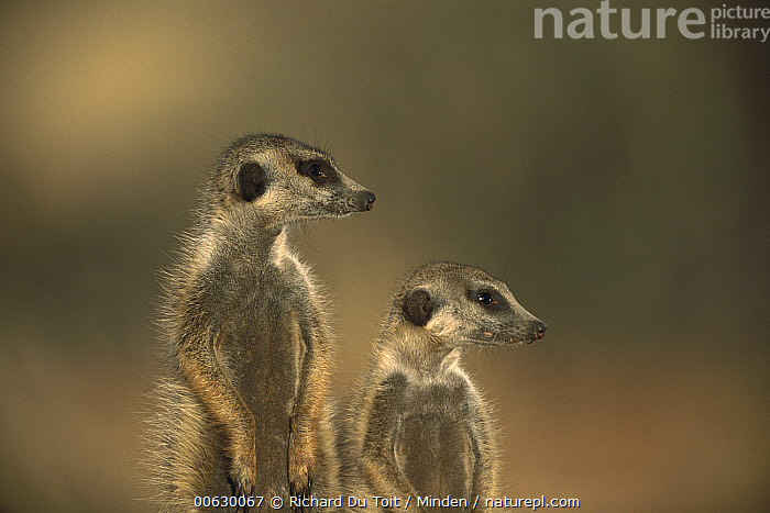 Meerkat (Suricata suricatta) pair, Tswalu Kalahari Reserve, South Africa  ,  Close Up, Color Image, Day, Front View, Head and Shoulders, Horizontal, Humor, Looking, Meerkat, Nobody, Photography, Portrait, Profile, Side View, Slender-tailed Meerkat, South Africa, Suricata, Suricata suricatta, Tswalu Kalahari Reserve, Two Animals, Watching, Wildlife,Meerkat,South Africa  ,  Richard Du Toit
