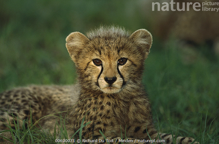 Cheetah (Acinonyx jubatus) three month old cub, Phinda Game Reserve, South Africa, Acinonyx jubatus, Alert, Cheetah, Close Up, Color Image, Cub, Cute, Day, Face, Front View, Head and Shoulders, Horizontal, Looking at Camera, Nobody, One Animal, Phinda Game Reserve, Photography, Portrait, South Africa, Spotted, Threatened Species, Vulnerable Species, Wildlife,Cheetah,South Africa, Richard Du Toit