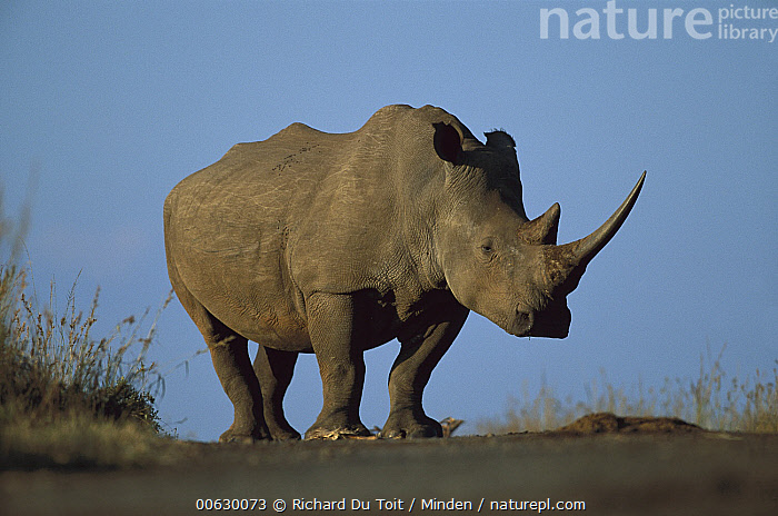 White Rhinoceros (Ceratotherium simum) portrait, Itala Game Reserve, South Africa, Adult, Ceratotherium simum, Color Image, Day, Front View, Full Length, Horizontal, Itala Game Reserve, Nobody, One Animal, Photography, Power, Rhinoceros sp, South Africa, Standing, White Rhinoceros, Wildlife,White Rhinoceros,South Africa, Richard Du Toit