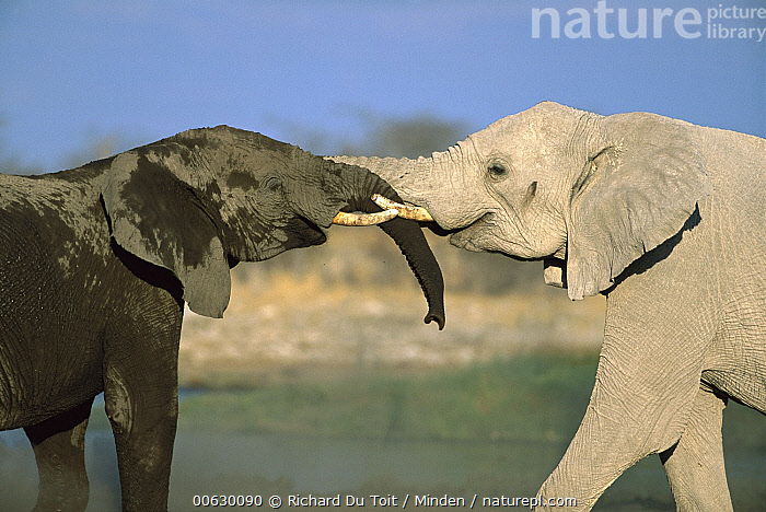 African Elephant (Loxodonta africana) two interacting with each other at water hole, Etosha National Park, Namibia, Affection, Close Up, Color Image, Day, Elephant, Etosha National Park, Friend, Greeting, Head and Shoulders, Horizontal, Interacting, Loxodonta africana, Meeting, Namibia, Nobody, Photography, Portrait, Profile, Side View, Tenderness, Threatened Species, Touching, Trunk, Two Animals, Vulnerable Species, Watering Hole, Wildlife,African Elephant,Namibia, Richard Du Toit