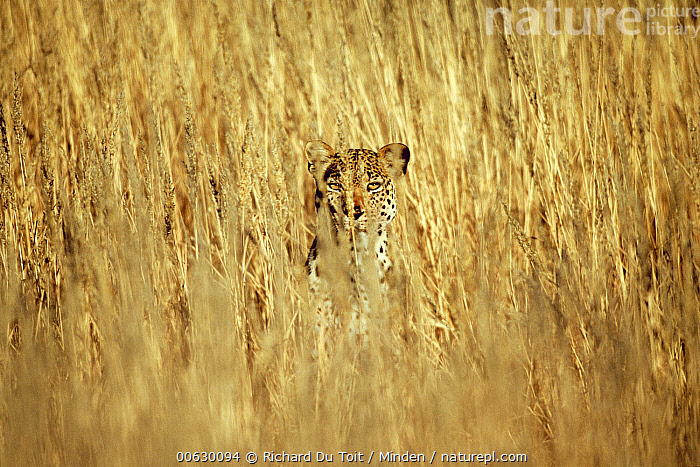 Leopard (Panthera pardus) adult peering through tall grass, Kgalagadi Transfrontier Park, South Africa, Adult, Camouflage, Color Image, Day, Front View, Full Frame, Head and Shoulders, Hiding, Horizontal, Hunting, Kgalagadi Transfrontier Park, Leopard, Nobody, One Animal, Panthera pardus, Peeking, Photography, Portrait, South Africa, Stalking, Watching, Wildlife, Richard Du Toit