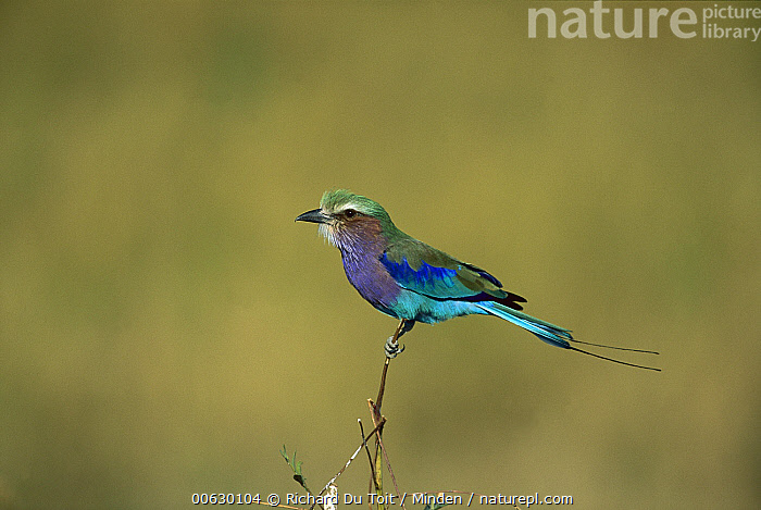 Lilac-breasted Roller (Coracias caudata) adult perching, Moremi Wildlife Reserve, Botswana, Adult, Blue, Botswana, Close Up, Color Image, Colorful, Coracias caudata, Day, Full Length, Horizontal, Lilac-breasted Roller, Moremi Wildlife Reserve, Nobody, One Animal, Perching, Photography, Profile, Purple, Side View, Wildlife,Lilac-breasted Roller,Botswana, Richard Du Toit