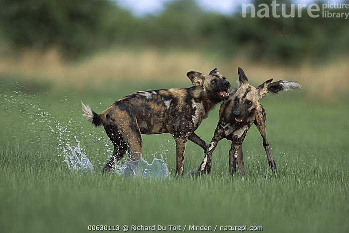 African Wild Dog (Lycaon pictus) pair playing, Chobe National Park, Botswana, African Hunting Dog, African Wild Dog, Botswana, Chobe National Park, Color Image, Day, Dog, Endangered Species, Friend, Front View, Full Length, Horizontal, Lycaon pictus, Nobody, Photography, Playing, Profile, Side View, Splashing, Two Animals, Wild Dog, Wildlife,African Wild Dog,Botswana, Richard Du Toit