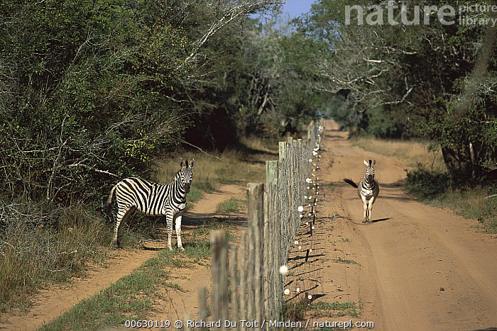 Burchell's Zebra (Equus burchellii) two separated by a fence, Phinda Game Reserve, South Africa  ,  Adult, Burchell's Zebra, Color Image, Day, Equus burchellii, Fence, Front View, Full Length, Grant's Zebra, Horizontal, Nobody, Phinda Game Reserve, Photography, Plains Zebra, Side View, South Africa, Two Animals, Wildlife, Zebra,Burchell's Zebra,South Africa  ,  Richard Du Toit