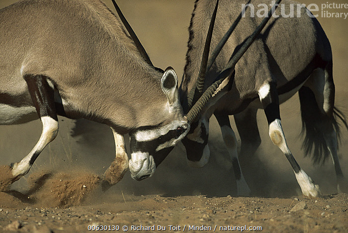 Gemsbok (Oryx gazella) two rams fighting, Kgalagadi Transfrontier Park, South Africa, Adult, Antelope, Close Up, Color Image, Competition, Day, Fighting, Front View, Gemsbok, Head and Shoulders, High Speed, Horizontal, Horn, Kgalagadi Transfrontier Park, Nobody, Oryx, Oryx gazella, Photography, Portrait, Profile, Ram, Side View, South Africa, Two Animals, Wildlife,Oryx,South Africa, Richard Du Toit