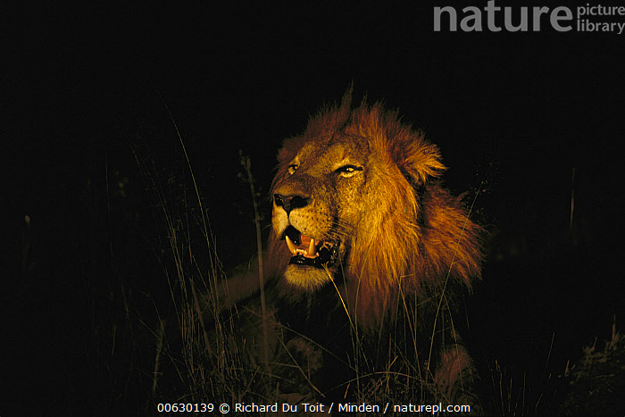 African Lion (Panthera leo) adult male roaring at night, Sabi Sands Private Game Reserve, South Africa, Adult, African Lion, Close Up, Color Image, Danger, Dark, Front View, Head and Shoulders, Horizontal, Large, Lion, Male, Night, Nobody, One Animal, Panthera leo, Photography, Portrait, Predator, Roaring, Sabi Sands Private Game Reserve, South Africa, Threatened Species, Vulnerable Species, Wildlife,African Lion,South Africa, Richard Du Toit