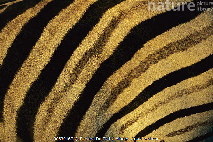 Burchell's Zebra (Equus burchellii) close-up of stripes on flanks, Itala Game Reserve, South Africa, Burchell's Zebra, Close Up, Color Image, Day, Detail, Equus burchellii, Horizontal, Nobody, One Animal, Outdoors, Photography, South Africa, Striped, Wildlife, Zebra,Burchell's Zebra,South Africa, Richard Du Toit