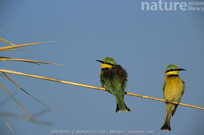 Little Bee-eater (Merops pusillus), Kasai Channel, Caprivi Strip, Namibia, Caprivi Strip, Color Image, Day, Horizontal, Little Bee-eater, Merops pusillus, Namibia, Nobody, Outdoors, Perching, Photography, Two Animals,Little Bee-eater,Namibia, Richard Du Toit