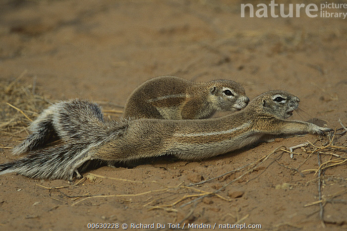 Cape Ground Squirrel (Xerus inauris) stretching, Kgalagadi Transfrontier Park, South Africa, Color Image, Day, Ground Squirrel, Horizontal, Kgalagadi Transfrontier Park, Nobody, Outdoors, Photography, South Africa, Stretching, Two Animals, Xerus inauris,Cape Ground Squirrel,South Africa, Richard Du Toit