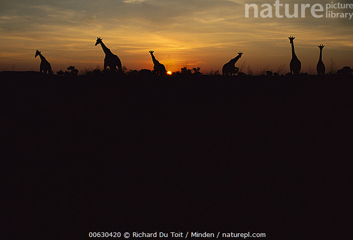 South African Giraffe (Giraffa giraffa giraffa) group in summer dawn, South Africa, Color Image, Day, Dawn, Giraffe, Giraffa giraffa giraffa, Horizontal, Medium Group of Animals, Nobody, Outdoors, Photography, Silhouette, South Africa, South African Giraffe, Summer, Sunrise, Wildlife,South African Giraffe,South Africa, Richard Du Toit