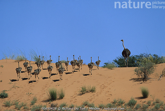 Ostrich (Struthio camelus) male and young on sand dune, Kalahari, South Africa, Color Image, Day, Desert, Dune, Family, Father, Flock, Horizontal, Kalahari, Large Group of Animals, Male, Nobody, Ostrich, Outdoors, Parent, Photography, Sand Dune, South Africa, Struthio camelus, Wildlife, Young,Ostrich,South Africa, Richard Du Toit
