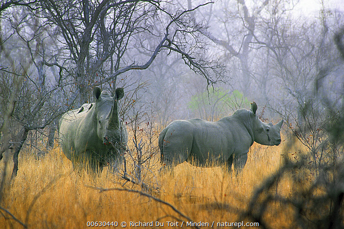 White Rhinoceros (Ceratotherium simum) in the mist, South Africa, Adult, Ceratotherium simum, Color Image, Day, Horizontal, Mist, Nobody, Outdoors, Photography, South Africa, Two Animals, White Rhinoceros, White Rhino, Wildlife, Richard Du Toit