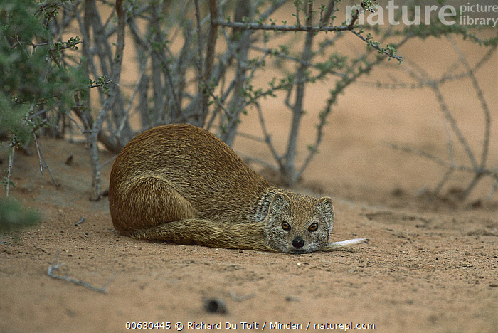 Yellow Mongoose (Cynictis penicillata), Kgalagadi Transfrontier Park, South Africa  ,  Color Image, Cynictis penicillata, Day, Horizontal, Kgalagadi Transfrontier Park, Lying, Nobody, One Animal, Outdoors, Photography, South Africa, Wildlife, Yellow Mongoose,Yellow Mongoose,South Africa  ,  Richard Du Toit